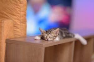 אימוץ חתול